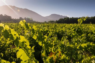 South African wine farming