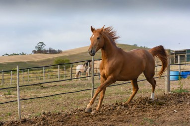 Horse breeding South Africa