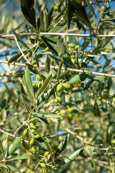 Olive farming South Africa