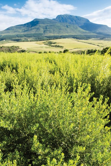 Cape Honeybush Tea farming